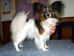 D'Alie's Dog Suzette papillion.jpg